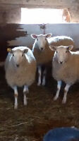 Young ewes