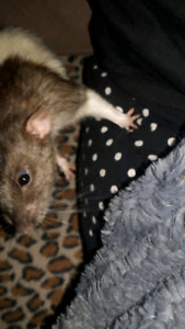 2 bonded male rats and large cage