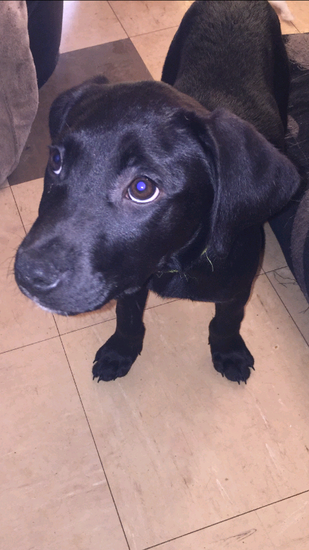 American Bulldog X Labrador Puppies In Kirkdale Merseyside Gumtree