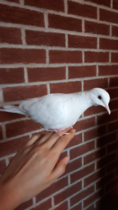 2 Beautiful hand trained white doves and cage