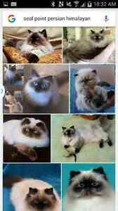 Looking for a female seal point himalayan