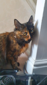 Beautiful tortoise-shell cat looking for new home.
