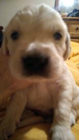 Pedigree Golden retriever puppies