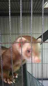 Male Ferret looking for a new home London Ontario image 3