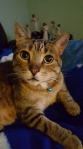 LOST - Family cat missing/lost