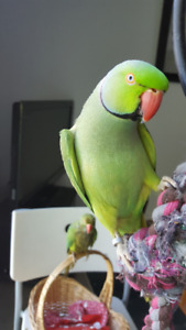 A feathered friend for my Indian Ringneck