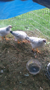 Three young chicken for sale