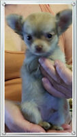 Tiny Chihuahua Puppies ~ Parents On Site ~ Vet Approved
