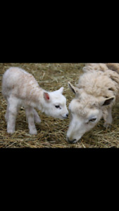 purebreed lambs, and sheep goats and Dwarf goats for sale.