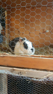 Male Rex Rabbit looking for a home