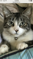 Grey tabby female lost September 9.
