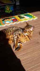 Missing Bengal Cat (spots like a leopard).