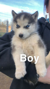 Beautiful Siberian Husky Puppies for sale ! 4 left Ready to go