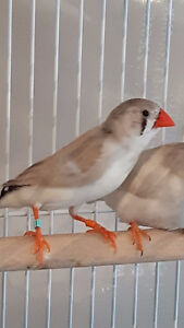 Society and Zebra Finches for sale