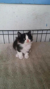 Fluffy Manx Male (Tailless)