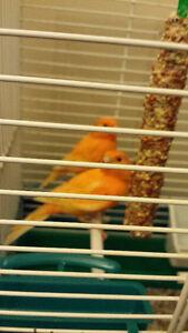 belle femelle canari  orange a vendre ou a échangé