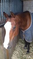 15.2hh APHA gelding for part board/lease