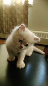 Mix Persian baby for sell
