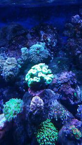 Bright neon green candy cane coral plenty of heads