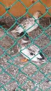 wood ducks and call ducks for sale
