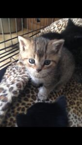 2 brown tabby kittens FREEE to a good home READ WHOLE  ADD!!