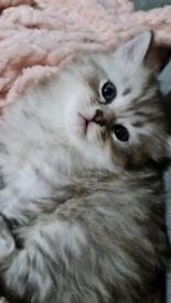 Ragdoll X Chinchilla Persian kittens 2girl 1 boy left