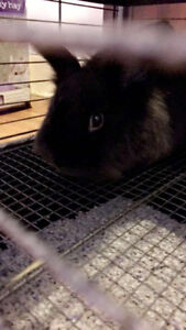 Neutered Male Bunny for Adoption
