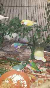 YOUNG MALE GOULDIAN FINCH/FINCHES