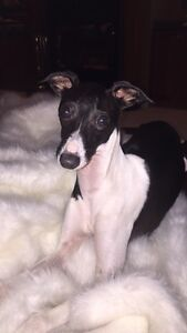 Need a sitter for my Italian Greyhounds :)