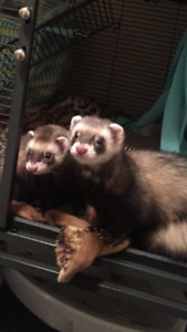Two Male Ferrets