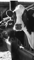 Part time milker
