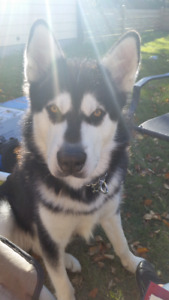 Looking for people that know and love Alaskan Malamutes
