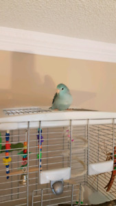 Young Blue Parrotlet for Rehoming