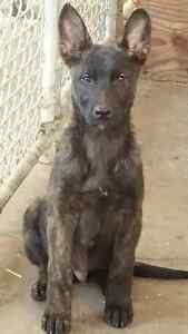 PUREBRED DUTCH SHEPHERD PUPS