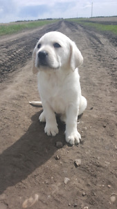 White and Silver and Charcoal  lab pups  Ready to go now.