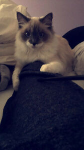 8 month old ragdoll for sale