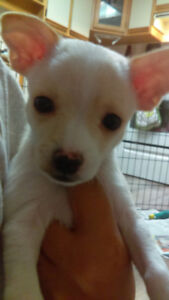 Cute Chihuahua Puppies... Only two left!