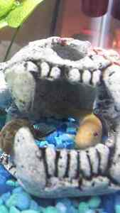 Chinese Algae Eater for Sale!