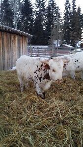 Longhorn roping calves