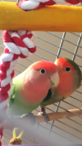 Love birds pair with cage food and all  accessories