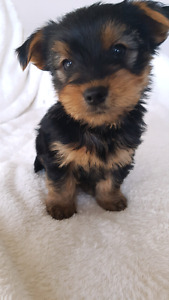 Beautiful teacup toy Yorkshire puppies (yorkie)