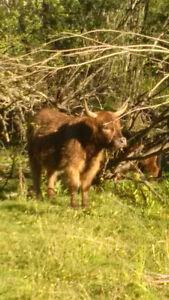 Heifer 2yr old Highland