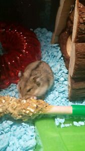 6 baby dwarf hamsters