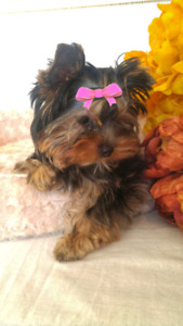 Baby Face Mini Yorkie Girl - Fully Vaccinated
