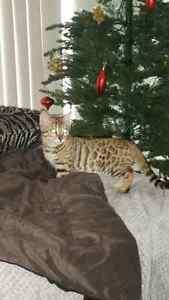 Effectionate playful Bengal kitten Kitchener / Waterloo Kitchener Area image 1