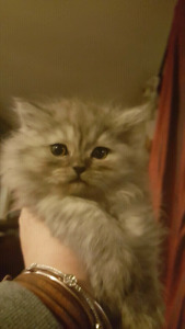 Long fur exotic Persian Himalayan kittens