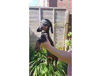 Only one Miniature dachshund boy left!