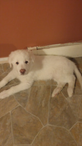 Akbash pup Last of litter looking for home