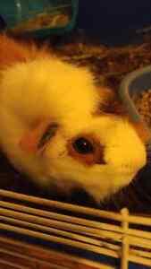 Female guinea pig Sarnia Sarnia Area image 1