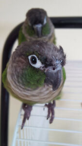 2 green cheeks conures without cage